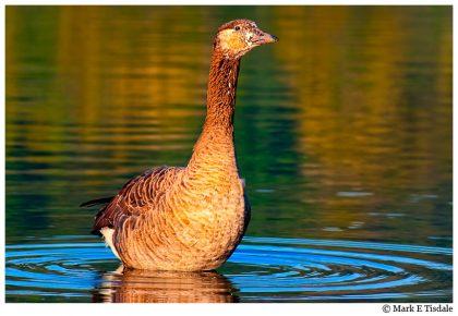 juvenile goose in north Georgia Rivers