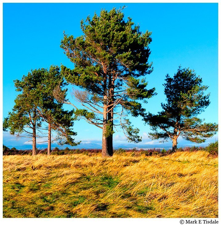 Art Print Of Trees on Culloden Moor